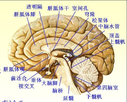 人脑结构 人脑结构