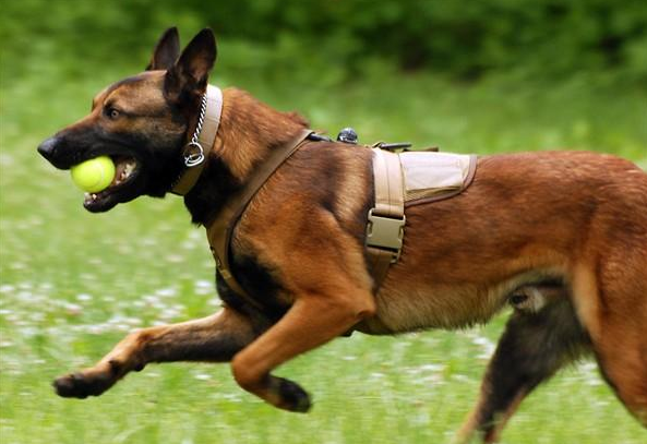 Best Military Attack Dogs