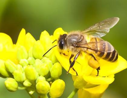 蜜蜂_360百科