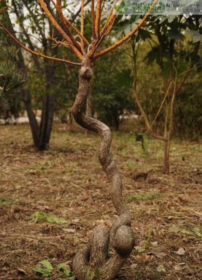 在非洲马达加斯加岛有一种会吃人的树被叫做蛇树