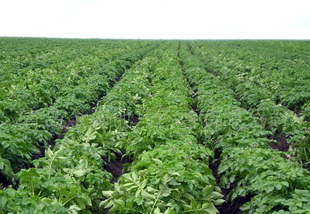 土豆植物结构图
